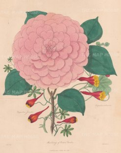"Adlard: Camelia. 1838. An original colour antique lithograph. 8"" x 10"". [FLORAp2890]"