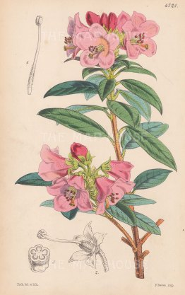 "Reeves: Azalea. 1853. An original hand coloured antique lithograph. 6"" x 9"". [FLORAp3056]"