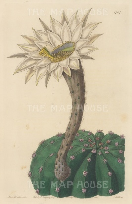 "Botanical Register: Cactus. 1834. An original hand coloured antique steel engraving. 6"" x 9"". [FLORAp3219]"