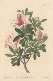 "Botanical Register: Azalea. 1834. An original hand coloured antique steel engraving. 6"" x 9"". [FLORAp3286]"