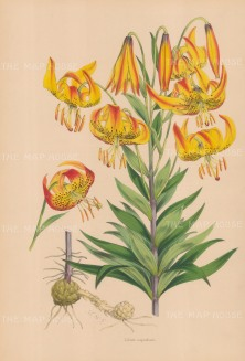"Fitch: Superb Lily. c1880. An original hand coloured antique lithograph. 14"" x 20"". [FLORAp3306]"