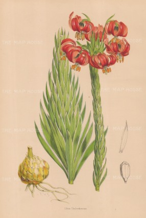 "Fitch: Scarlet Lily. c1880. An original hand coloured antique lithograph. 14"" x 20"". [FLORAp3307]"