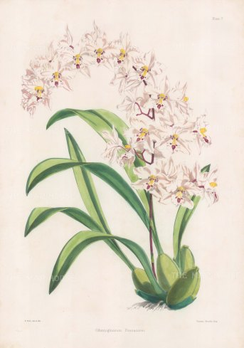 "Fitch: Noble Orchid. 1884. An original hand coloured antique lithograph. 14"" x 20"". [FLORAp3309]"