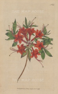 "Curtis: Scarlet Azalea. 1795. An original hand coloured antique copper engraving. 5"" x 8"". [FLORAp3311]"