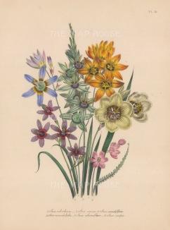Ixia: Ochroleuca, Conica, Viridiflora, Monodelpha, Columellaris and Crispa.