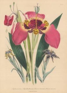 Tiger flower: Tigridia pavonia with Rigidella flammea, Ferraira divaricata and uncinata.