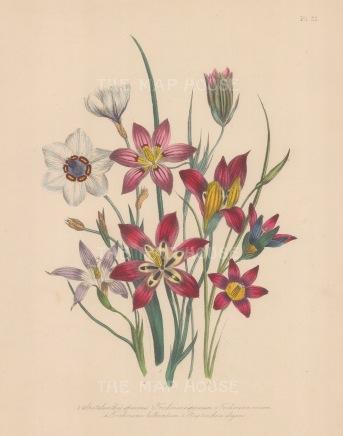 Spatalanthus: Speciosus, Trichonema Speciosum, Roseum, Bulbocodium and Streptanthera elegans.
