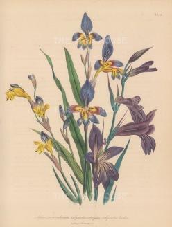 Sphaerospora: Imbricata, Synnotia variegata and bicolor.