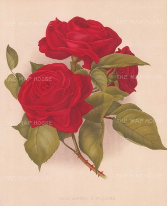 "Garden Magazine: Rose. 1891. An original antique chromolithograph. 8"" x 12"". [FLORAp3337]"