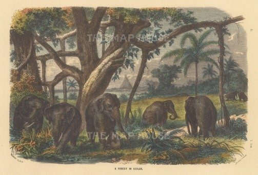 """Collins: Forest in Ceylon. c1870. A hand coloured original antique wood engraving. 9"""" x 6"""". [INDp1505]"""