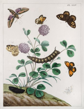 "Harris: Moths & Caterpillars. 1840. An original colour antique copper engraving. 10"" x 12"". [NATHISp4779]"