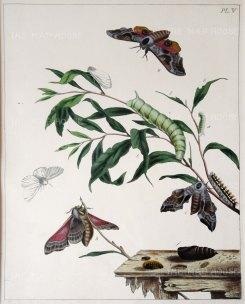 "Harris: Moths & Caterpillars. 1840. An original colour antique copper engraving. 9"" x 10"". [NATHISp5901]"