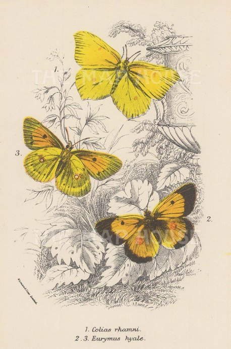 Colias rhamni with two varieties of Eurymus hyale.