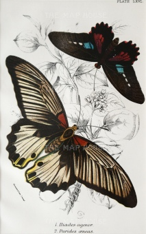 Iliades agenor and Parides oeneas.