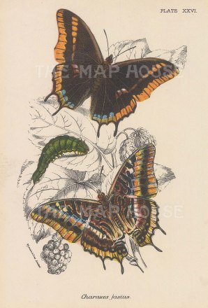 Charaxes jasius. Two varieties of butterfly and caterpillar.