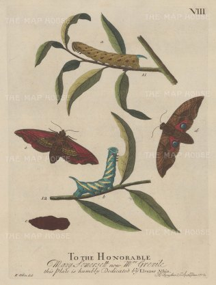"Albin: Hawk-eyed Caterpillar. 1749. An original hand coloured antique copper engraving. 8"" x 10"". [NATHISp6817]"