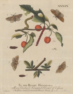 "Albin: Looper caterpillar. 1749. An original hand coloured antique copper engraving. 8"" x 10"". [NATHISp6821]"