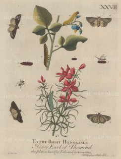 Caterpillars on the Woody Nightshade and the Larkspur with chrysalises, flies and moths.