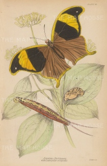 Arpidea Chorinaea. Butterfly with Caterpiller and Crysalis.