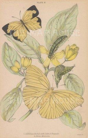 Callidryas Eubule andTerias Mexicana.