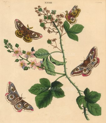 Emperor Moth, phalena pavonia and a White fruit Bramble branch, rubus fruticosa.