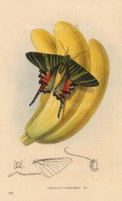 Leilus Occidentalis from Jamaica.