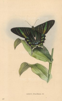 "Swainson: Brazilian Emerald Butterfly. 1833. An original hand coloured antique lithograph. 6"" x 9"". [NATHISp7262]"