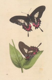 Papilio Harrisianus from Brazil, two views. Named after Moses Harris.