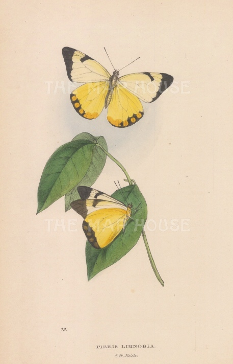 Yellow under-wing White Butterfly; Pieris (Melete) Limnobia from Rio de Janeiro.