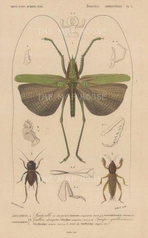 Locusta sexpunctata and Gryllus campestris and Gryllotalpa nitidula. With limb segment details.