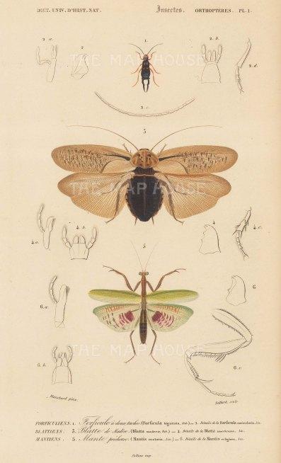 Earwig; Madiera roach and Praying Mantis; Foricula biguttata, Blatta maderae, Mantis oratoria with segment details.