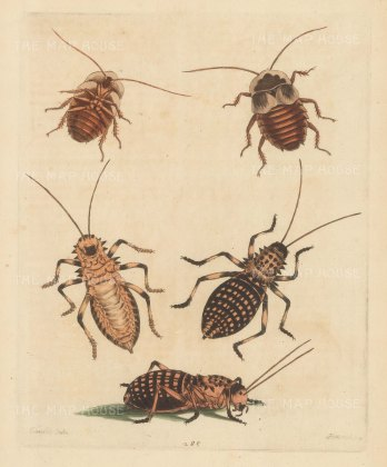 Greater Cockroach brought by Catesby from the Carolinas and a Cricket from Barbary.
