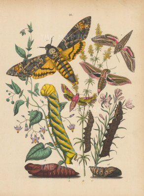 "Kirby: Moths and Caterpillars. 1889. An original hand coloured antique lithograph. 8"" x 10"". [NATHISp7489]"