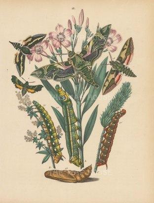 "Kirby: Moths and Caterpillars. 1889. An original hand coloured antique lithograph. 8"" x 10"". [NATHISp7490]"