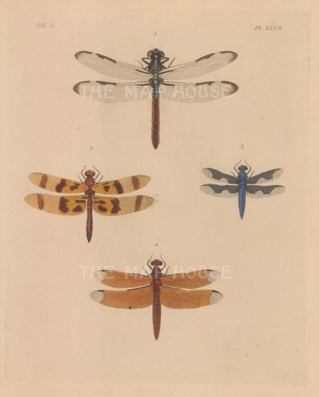 "Anonymous: Dragonflies. c1870. An original hand coloured lithograph. 7"" x 8"". [NATHISp7555]"