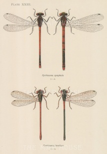 Red Damselfy; Pyrrhosoma nymphula and Small Red Damselfly; Pyrrhosoma tenellum.