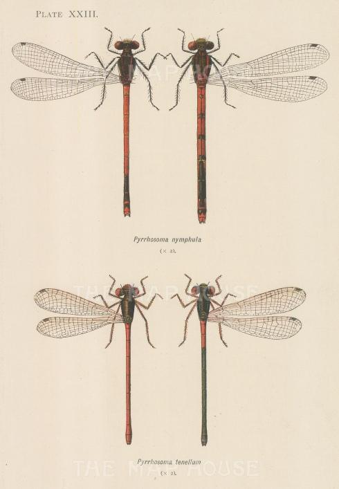 Red Damselfy; Pyrrhosoma nymphula and Small Red Damselfly; Pyrrhosoma tenellum.