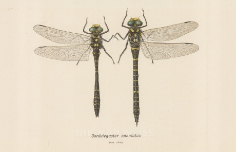 Golden ringed Dragonfly, Cordulegaster annulatus. Male and female.