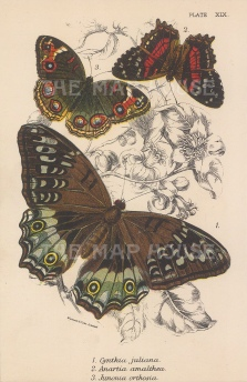 Cynthia juliana, Anaartia amalthea and Junonia orthosia butterflies.