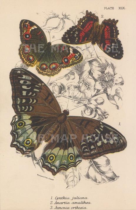 Cynthia juliana, Anaartia amalthea and Junonia orthosia butterflies.