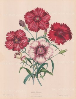 Dianthus heddewigh: Red and white minstrels.
