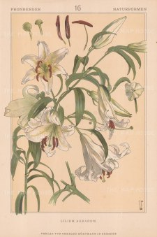 "Vellmer: Lily. c1890. An original antique chromolithograph. 14"" x 20"". [FLORAp2209]"