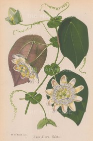 "Fitch: Passion flower. c1860. An original antique chromolithograph. 7"" x 10"". [FLORAp2427]"