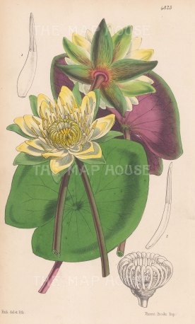 "Reeves: Water Lilies. 1854. A hand coloured original antique lithograph. 6"" x 9"". [FLORAp2488]"