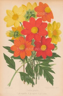"Fitch: Dahlias. 1884. An original antique chromolithograph. 7"" x 10"". [FLORAp2731]"