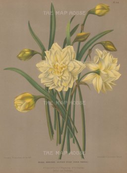 "Van Eeden: Narcissus. c1782. An original antique chromolithograph. 9"" x 13"". [FLORAp2786]"