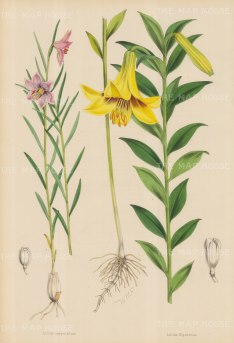 "Fitch: Lilies. c1880. An original hand coloured antique lithograph. 14"" x 20"". [FLORAp2808]"