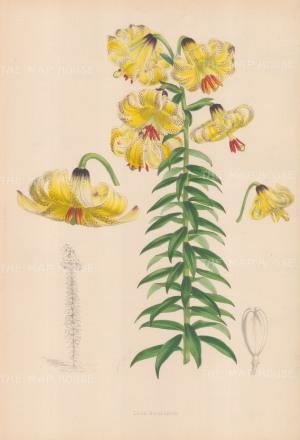 """Fitch: Caucasian Lily. c1880. An original hand coloured antique lithograph. 14"""" x 20"""". [FLORAp2933]"""