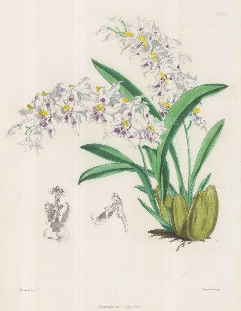 Orchid: Odontoglossum Alexandrae (Crispum). Curled odontoglossum.