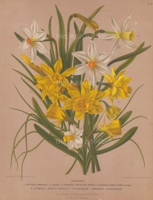 "Van Eeden: Narcissus. c1872. An original hand coloured antique chromolithograph. 10"" x 13"". [FLORAp3038]"